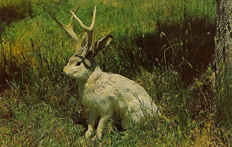 Jackalope Real or Not Jackalopes Aren't Real